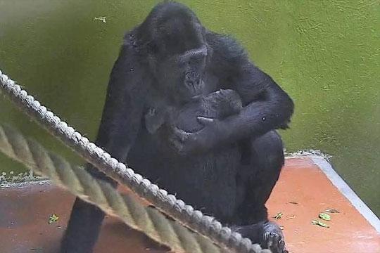 Зоолошка градина во Бристол и светот побогати за една горила